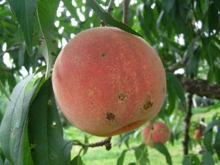 桃の害虫対策について。毎年自宅の桃の木には大量 …